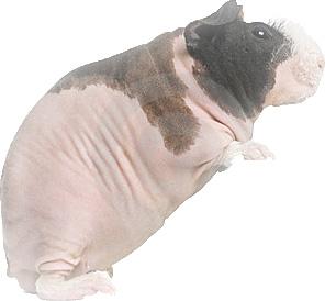 pigfeather